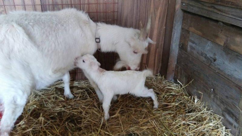山羊の出産